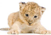 Como reduzir a mordida do Leão?